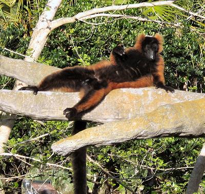 African Lemur Postcards
