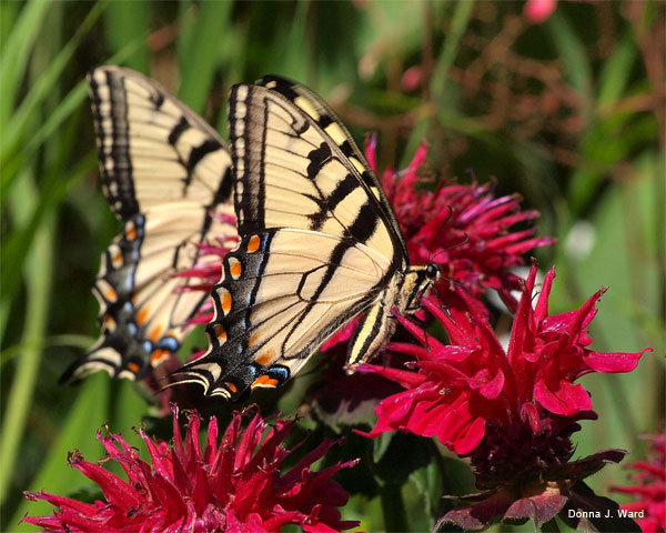 Two Swallowtail Butterflies by Donna J. Ward