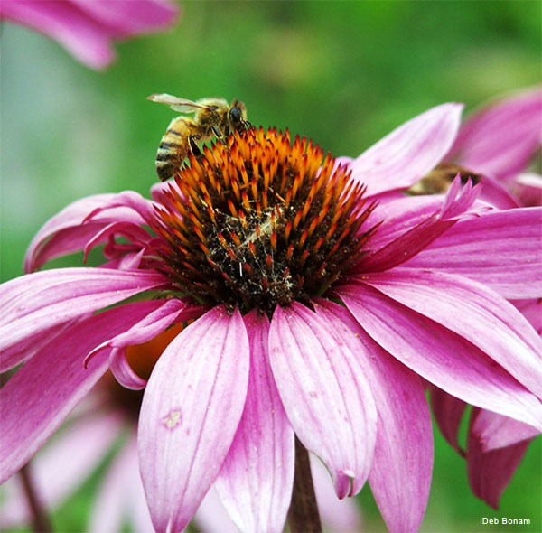 Bee on Coneflower by Deb Bonam