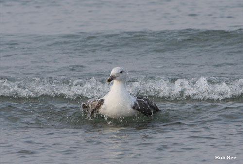 Seagull Bath by Bob See
