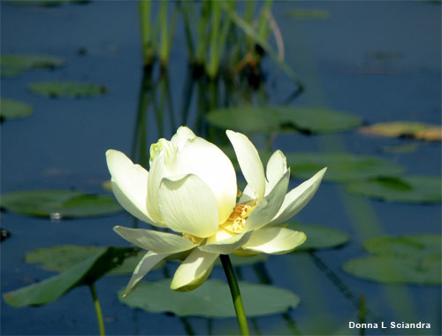 Mississippi Water Lily by Donna L Sciandra