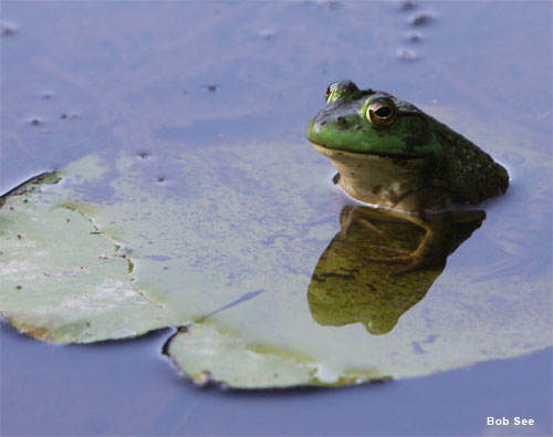 Massachusetts Bullfrog by Bob See