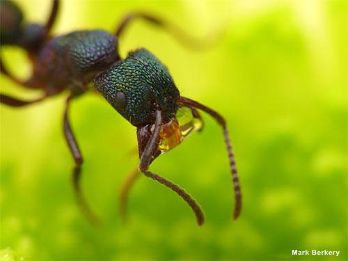 Green Head Ant by Mark Berkery