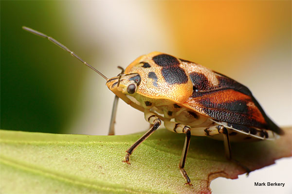 An Irish Shield Bug by Mark Berkery