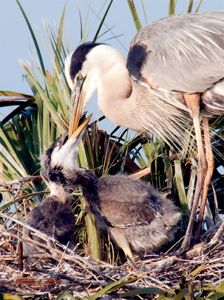 Great Blue Heron Feeding Chick by Al Rollins