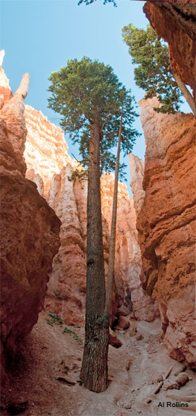 Tree - Bryce Canyon by Al Rollins