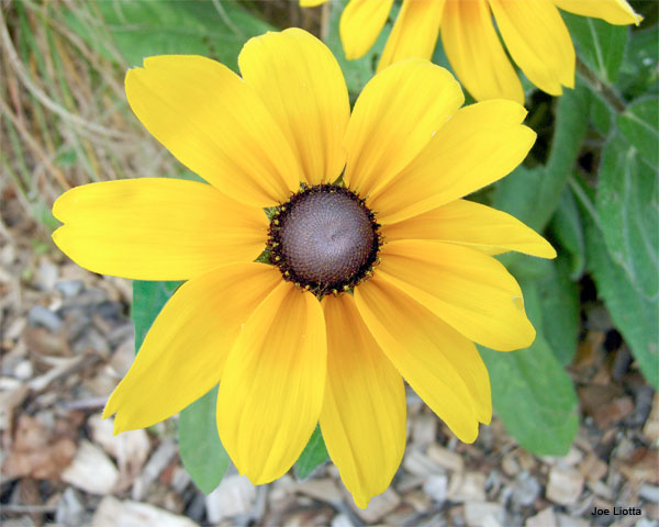 Brown-eyed Susan by Joe Liotta