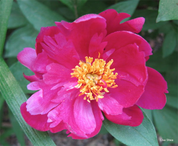 Shades of Peony by Lisa Shea