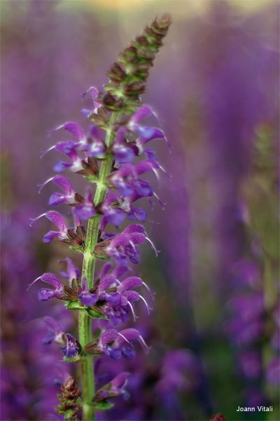 Purple Lupine by Joann Vitali