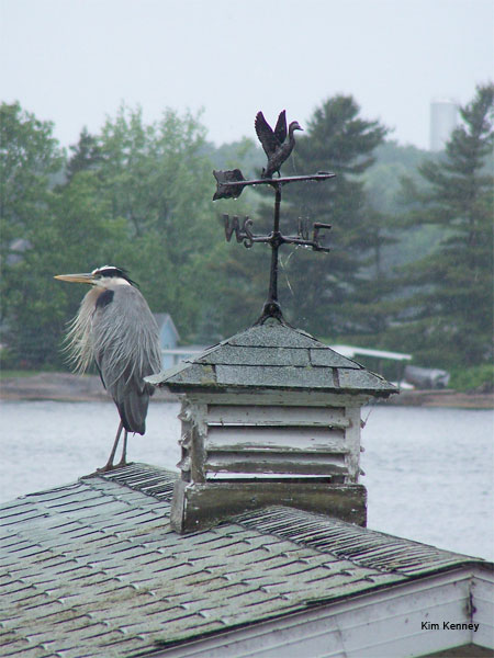 Blue Heron on Boathouse by Kim Kenney