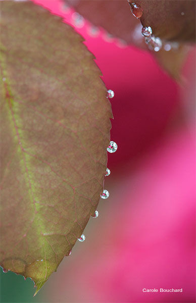Rose Leaf and Rain Drops by Carole Bouchard