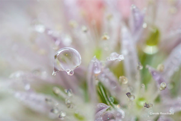 Chive Blossom Water Drop by Carole Bouchard