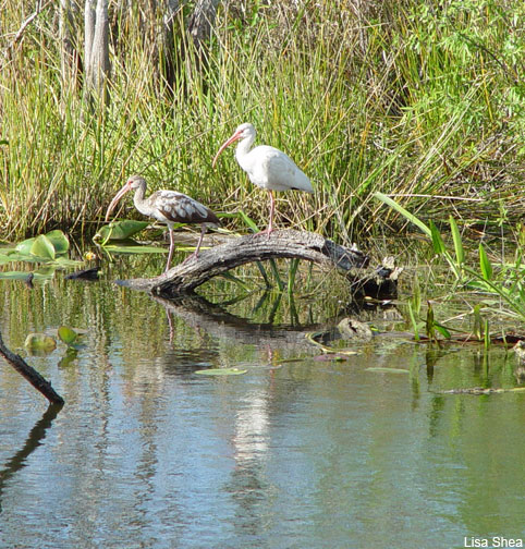Ibis in the Everglades by Lisa Shea
