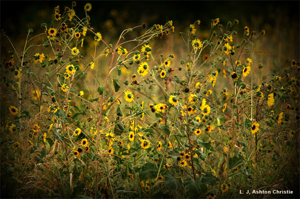 Wild Flowers by L. J, Ashton Christie