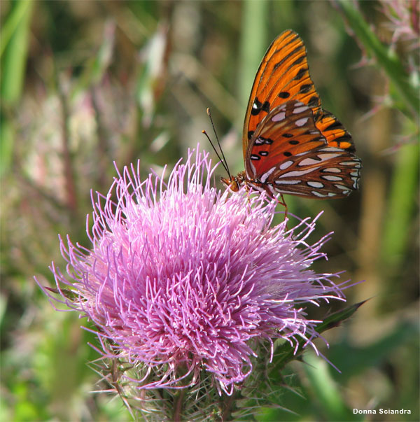 Thistle and Butterfly by Donna Sciandra