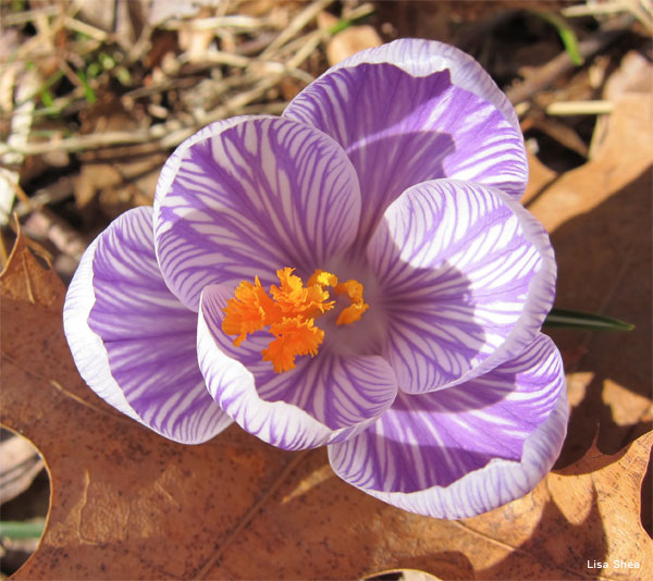 Spring Crocus by Lisa Shea
