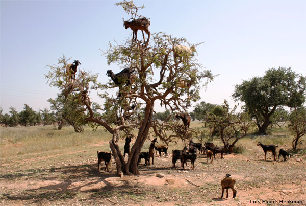 Goat Tree by Lois Elaine Heckman