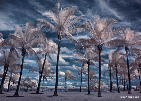 South Beach Palms by Heidi A Hopwood