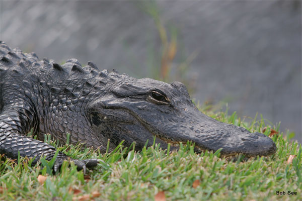 American Alligator by Bob See