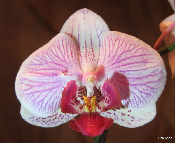 Orchid by Lisa Shea