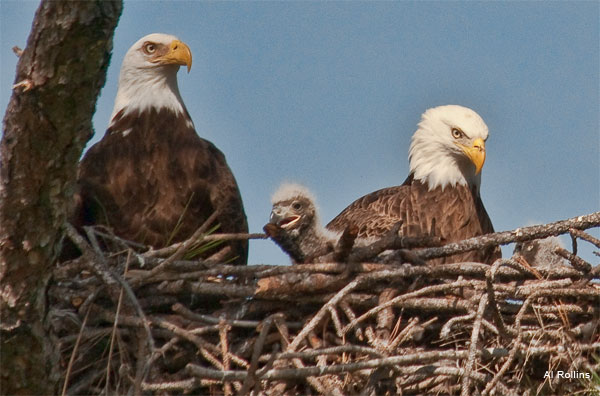 Eagle Family by Al Rollins