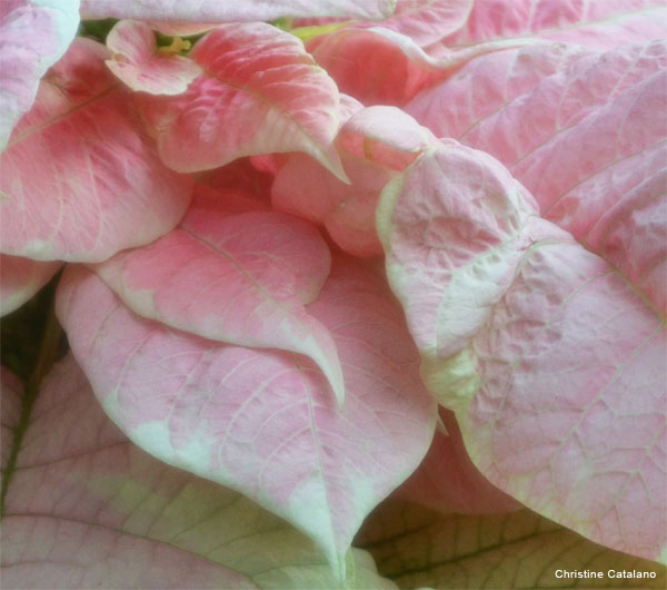 Pink Leaves by Christine Catalano