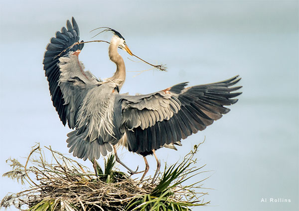 Great Blue Herons Building a Nest by Al Rollins