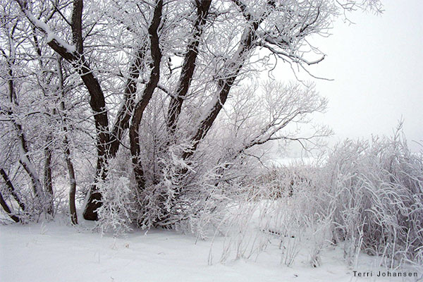 Trees in Winter by Terri Johansen