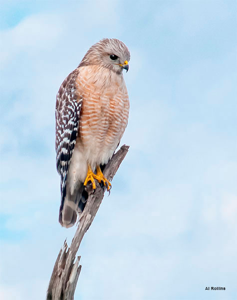 Red Shouldered Hawk by Al Rollins