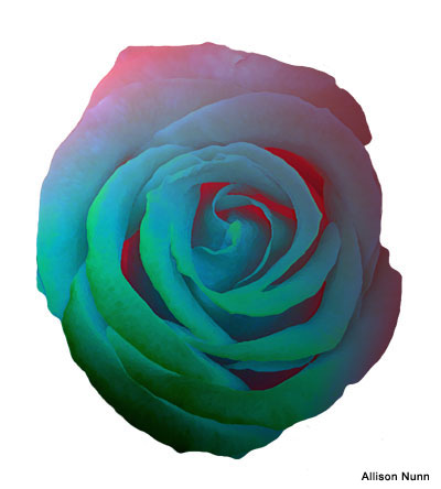 Rainbow Rose by Allison Nunn