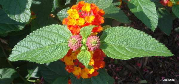 Lantana Taking Flight by Lisa Shea