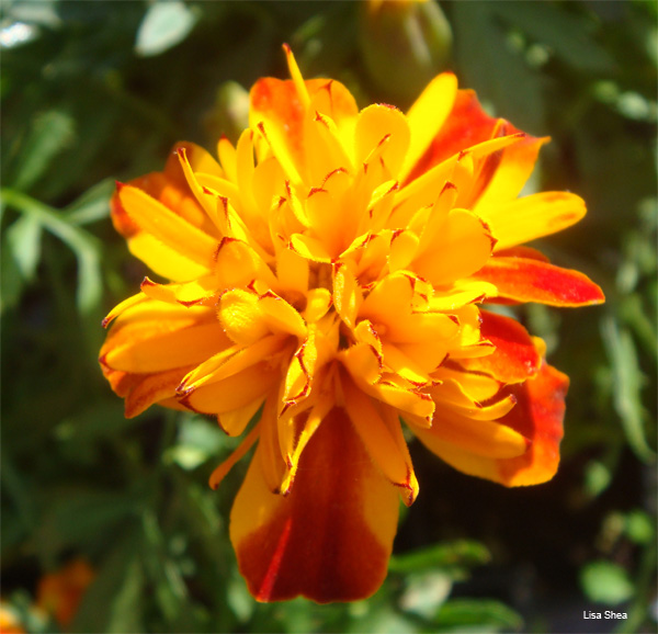 Marigold by Lisa Shea