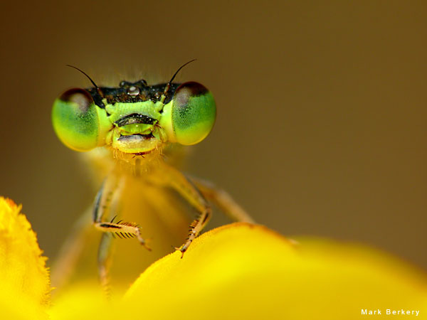 Damsel on Yellow by Mark Berkery