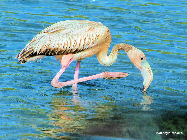 Wading Flamingo by Kathryn Moore