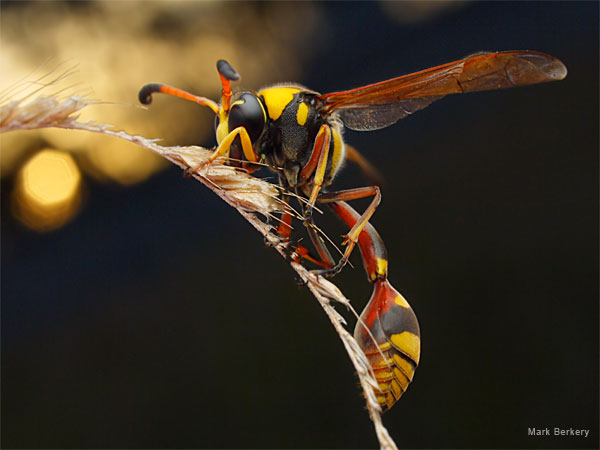 Potter Wasp by Mark Berkery