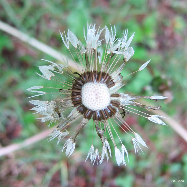 Dandelion and Dew by Lisa Shea