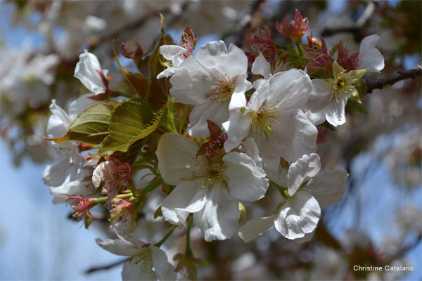 Cherry Blossoms by Christine Catalano