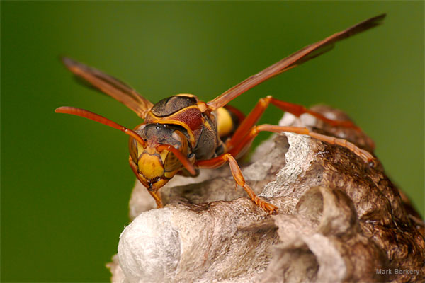 Paper Wasp by Mark Berkery