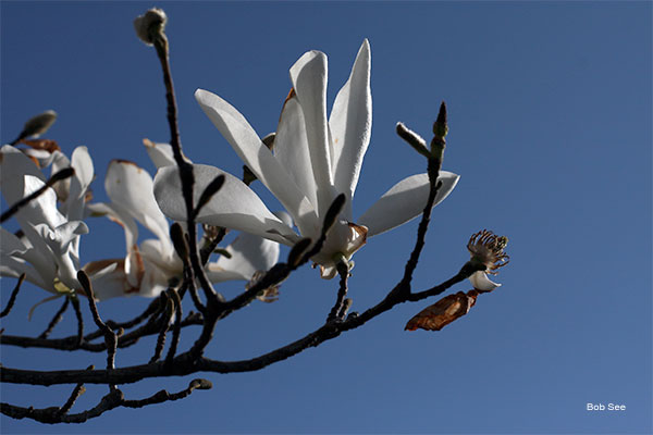 Anise Magnolia by Bob See