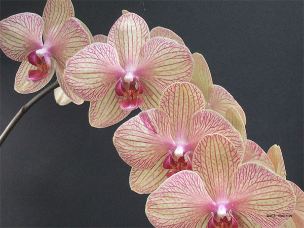 Elegantly Arching Orchids by Beth Weiner