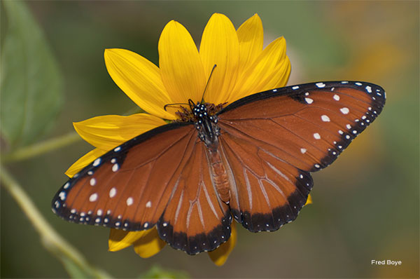 Queen Butterfly On Sunflower by Fred Boye
