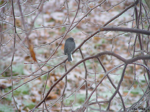 Junco in Winter by Lisa Shea