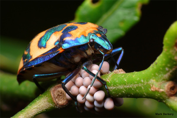Hibiscus Harlequin Guards Her Eggs by Mark Berkery