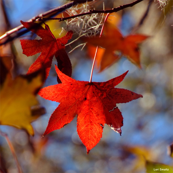 Autumn Stars by Lori Smaltz