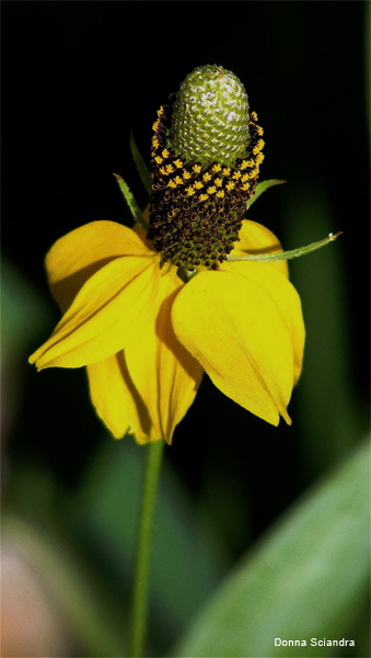 Yellow Mexican Hat by Donna Sciandra