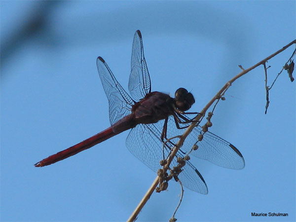 Dragonfly Outline by Maurice Schulman
