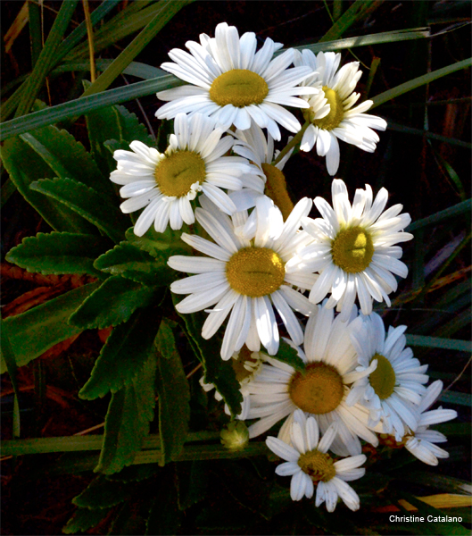 Dark Daisies by Christine Catalano