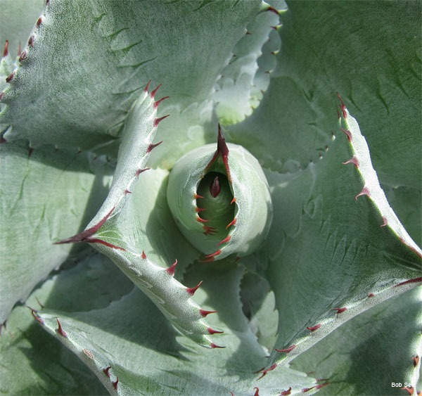 Agave Potatorum by Bob See