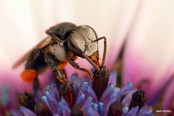 Stingless Bee 4 by Mark Berkery