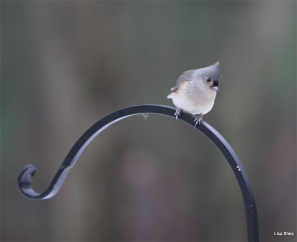 Winter Titmouse by Lisa Shea